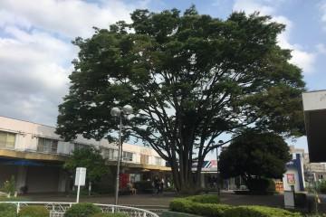 相武台団地商店街前の大きなケヤキの木