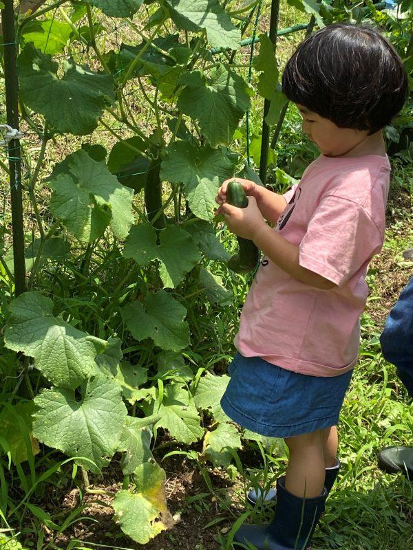 コミュニティガーデンの野菜を収穫する参加者